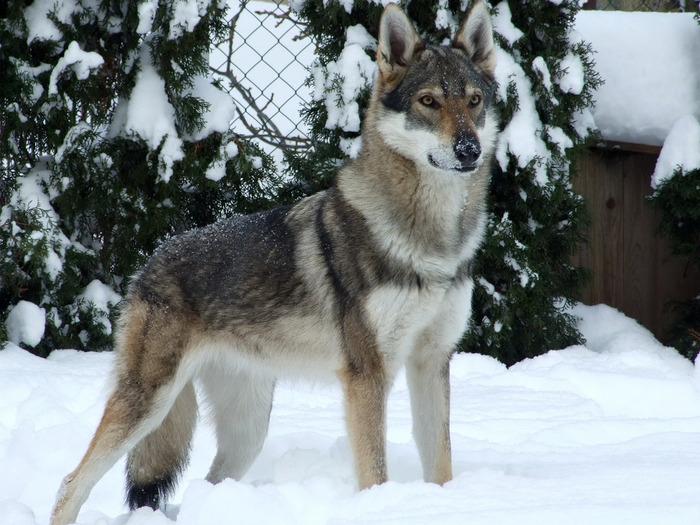 Волкособ - результат скрещивания волка и немецкой овчарки