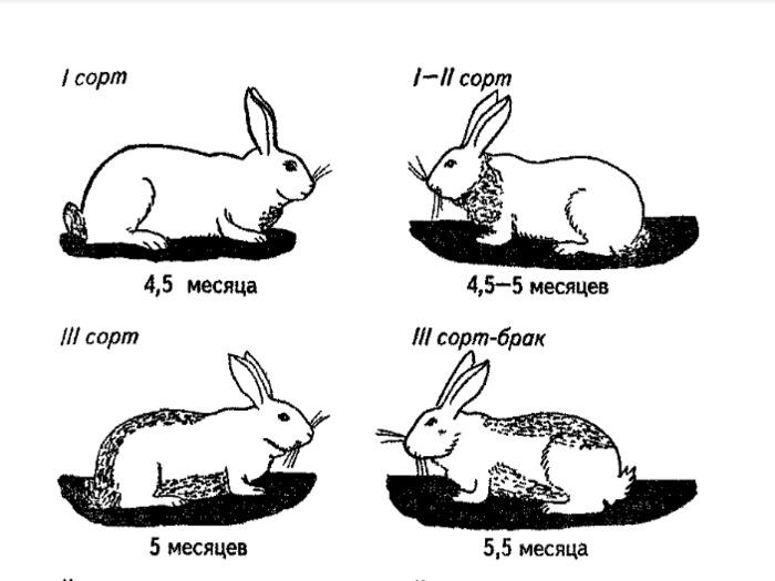 Возрастные изменения шерсти кролика, часть 1