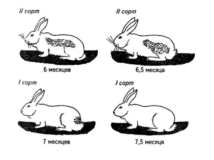 Возрастные изменения шерсти кролика, часть 2