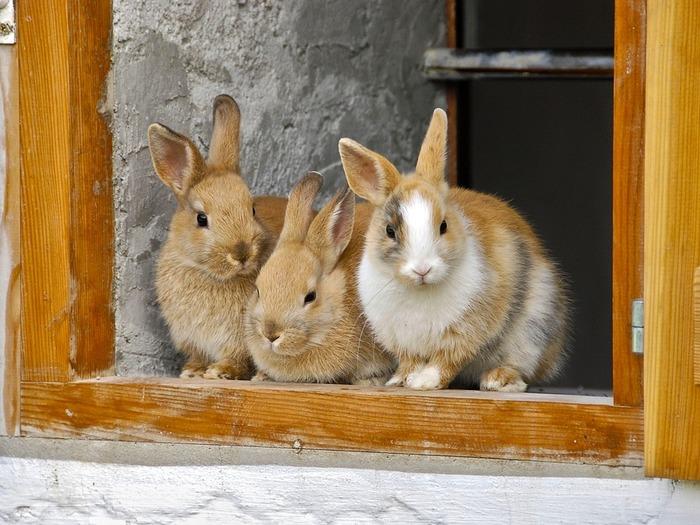 Простым кролиководство кажется только тогда, когда поголовье особей не достигает больше 10-ти