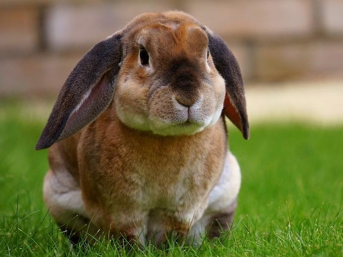Выращивание и разведение кроликов как бизнес